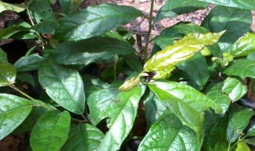 Hình ảnh cây xạ đen