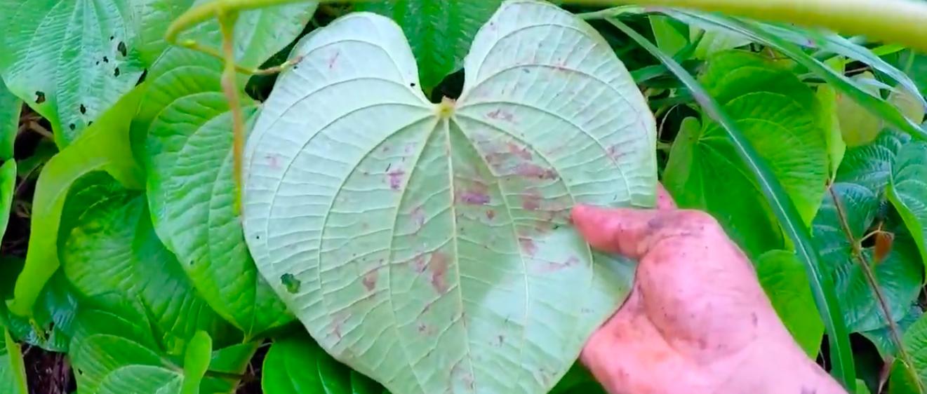 Mặt sau của lá cây Hoàng Dược Tử