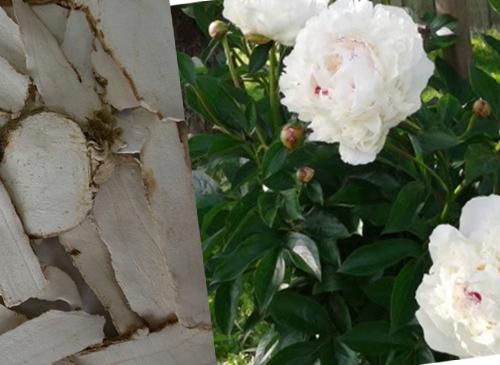 Hoa bạch thược