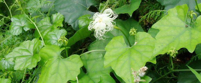 cây thiên hoa phấn
