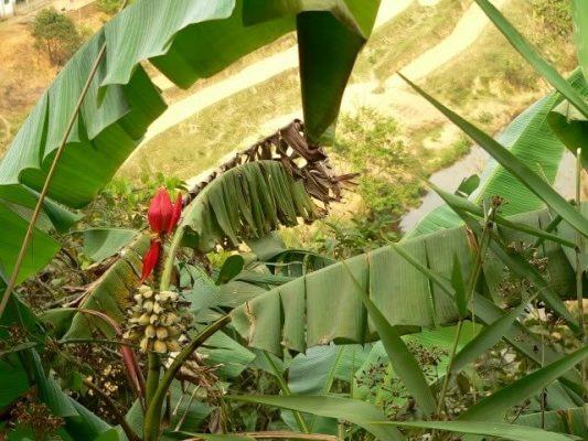 Cây chuối hột rừng