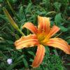Bông hoa kim châm tươi