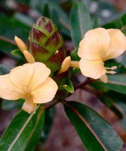 Hoa kim vàng