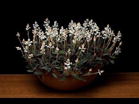Hoa lan kim tuyến