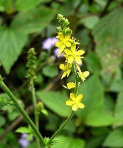 Hoa long nha thảo