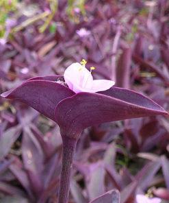 Hoa thài lái tía ( tím )