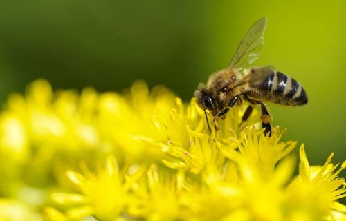 Ong đi kiếm mật