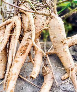 Rễ sâm bổ chính