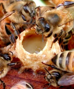 Tìm hiểu về loài ong chúa