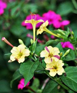 Hoa phấn