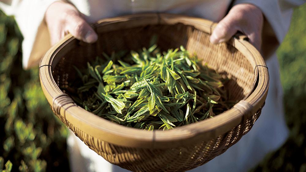 thu hoạch trà xanh