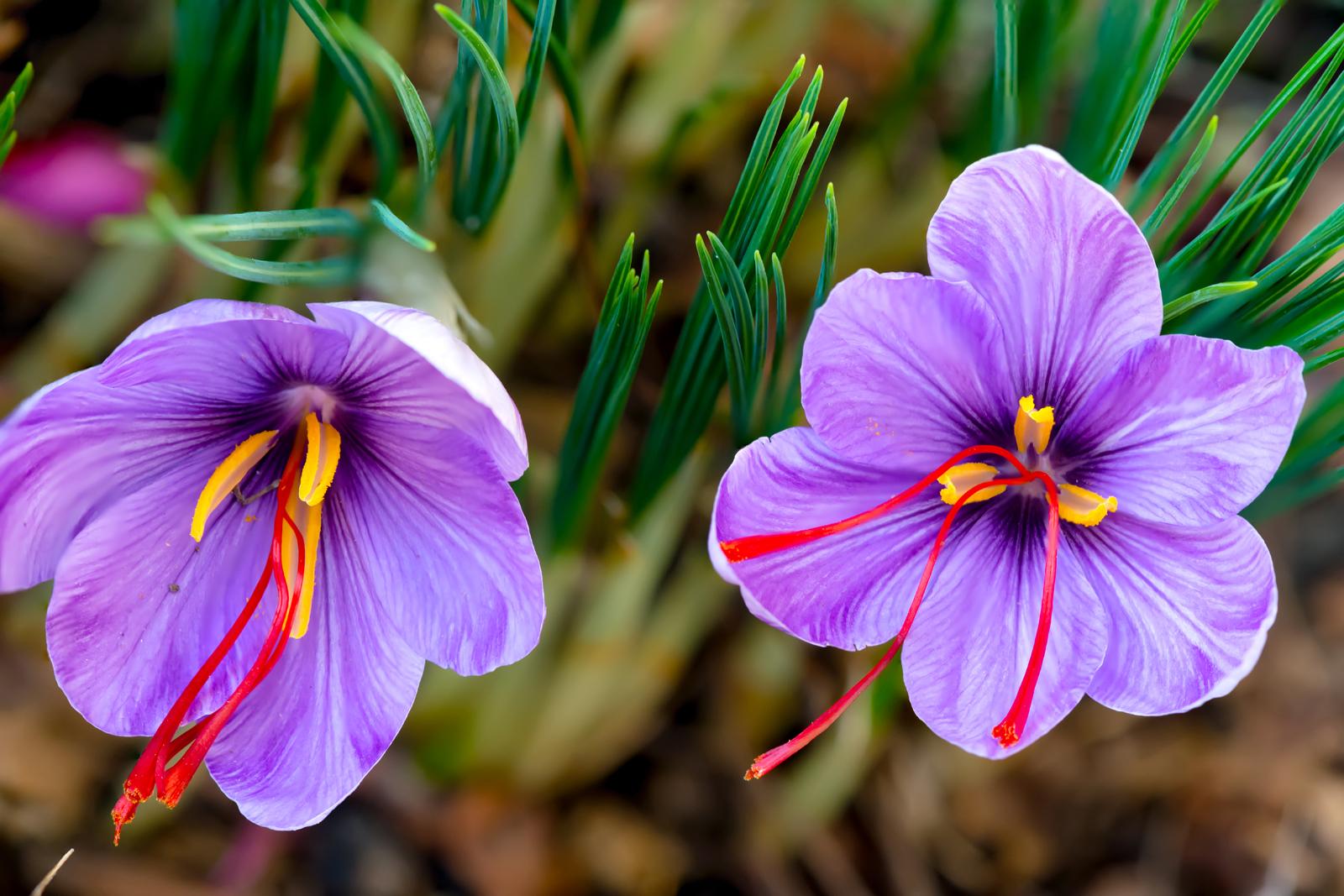 Bông hoa nghệ tây