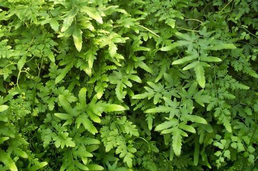Loài cây hải kim sa