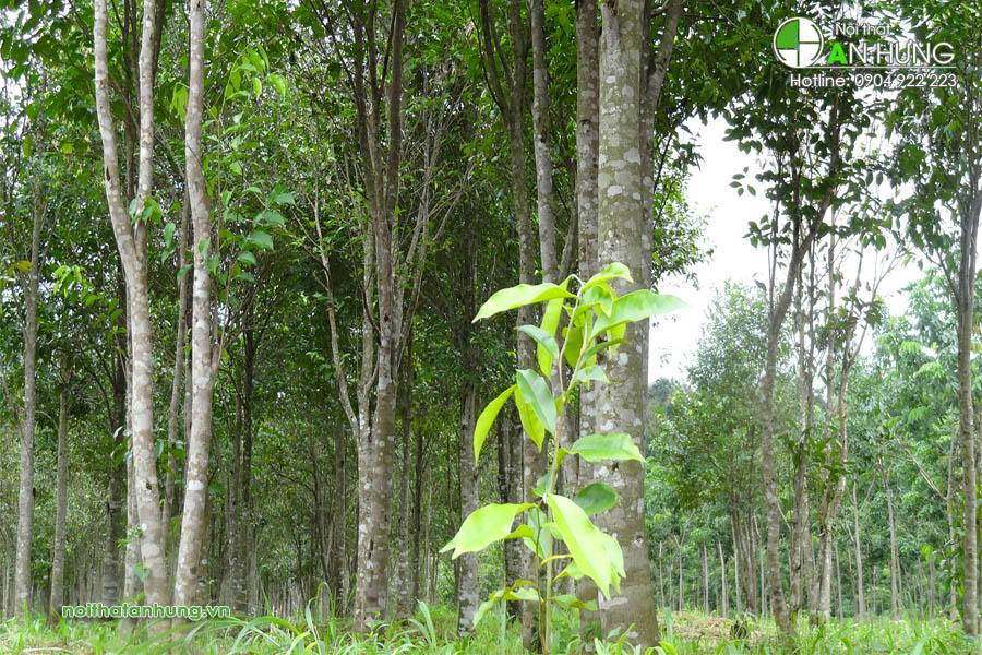 Rừng cây trầm hương