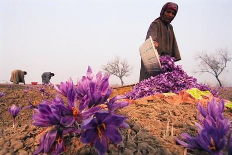 Thu hoạch hoa Saffron