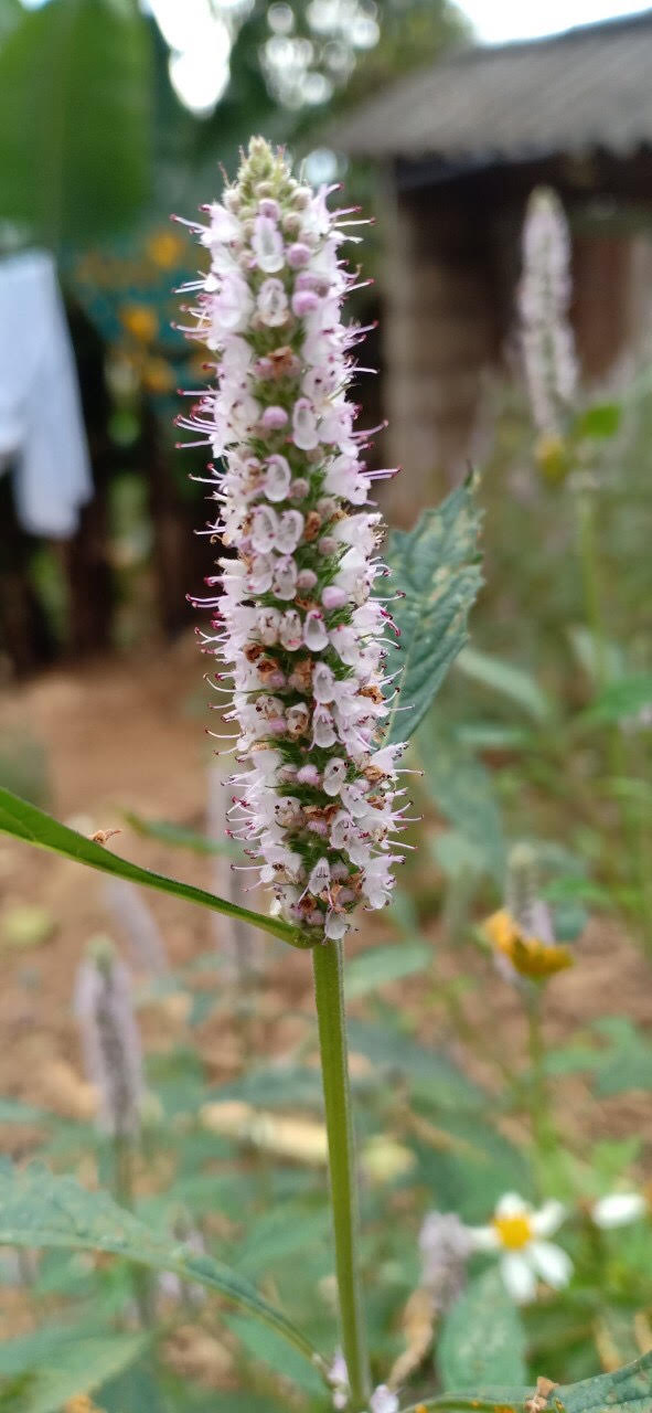 Bông hoa bạc hà
